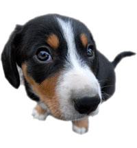 entlebucher mountain dogs breeder puppies for sale. Black Bedroom Furniture Sets. Home Design Ideas