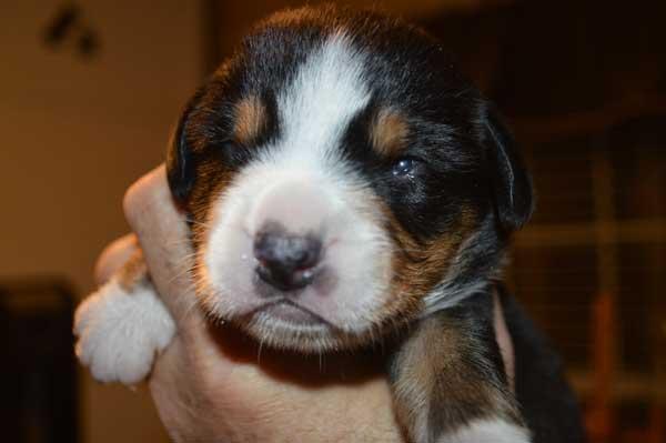 The Entlebucher Mountain Dog For Sale